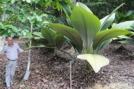Daun Sang Tumbuhan Raksasa Sumatera