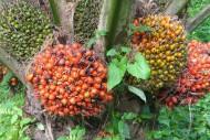 Riau Penghasil Kelapa Sawit