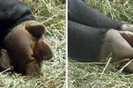 Kuku Kaki Tapir Asia