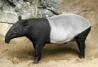 Tapir Asia Sumatera