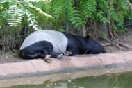 Tapir Asia Tidur Pada Siang Hari