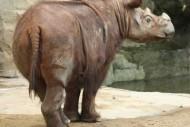 badak berbulu hewan langka di pulau sumatera