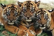 Anak Anak Harimau Sumatera