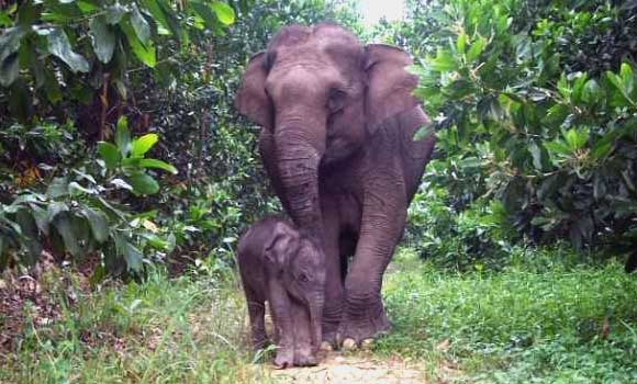 Image result for ciri-ciri gajah sumatera