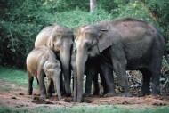 Gajah Sumatra Hidup Berkelompok