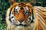 Harimau Sumatera atau Panthera Tigris Sumatrae