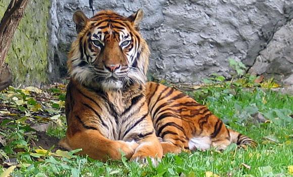 Harimau Sumatera Panthera Tigris Sumatrae Go Sumatra