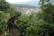 Monyet Ekor Panjang Ngarai Sianok
