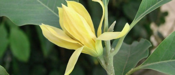 Bunga Magnolia champaca Sumatera