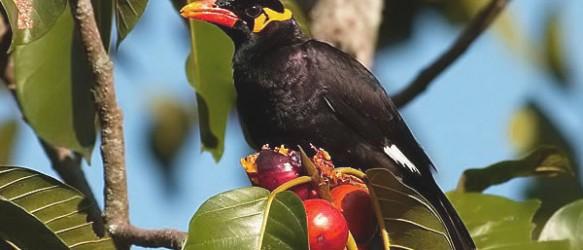 Burung Beo Nias Sumatera Utara