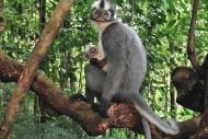Monyet Kedih termasuk Hewan Langka