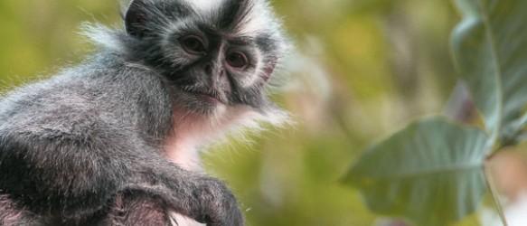 Monyet Kedih Asli Sumatera