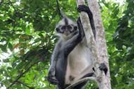 Kedih Primata Pulau Sumatera