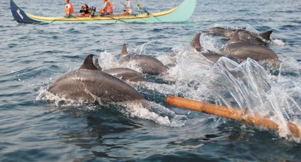 Berburu Atraksi Lumba Lumba Di Teluk Kiluan Sumatera Selatan Go Sumatra
